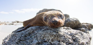 Cape Fur seal - spot this mammal up and down our coastline